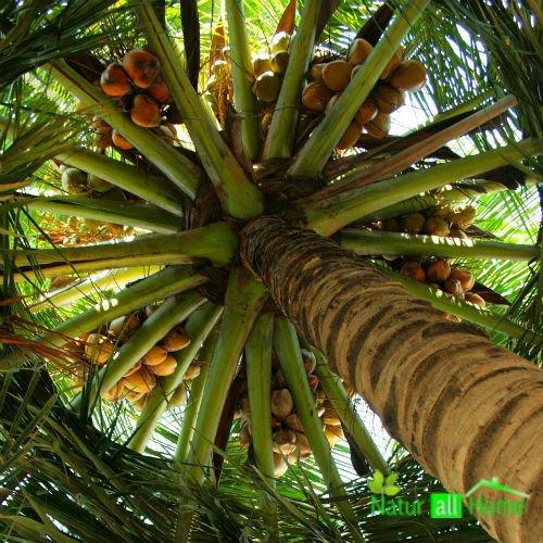 Ulei de palmier 1000 ml - Type de palmier ...